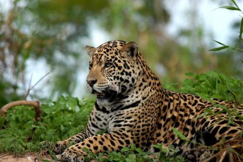 min-jaguar-fra-pantanal