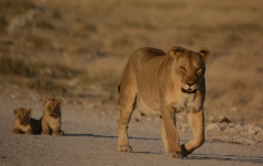 Lioness w cubs small
