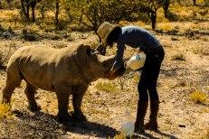 Rhino baby drinking. small