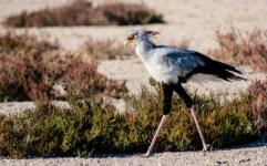 Secretary bird smaller