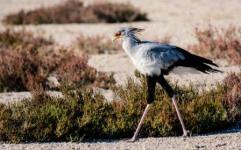 Secretary bird smaller