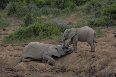 Baby elephant playing_edited