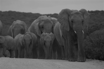 Elephant herd Addo_small