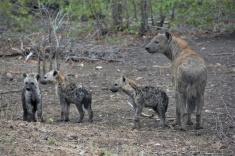 Hyenas I_edited
